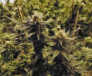 cola 300x247 - What Are the Benefits of Legalizing Marijuana?