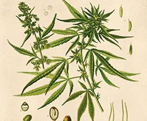 hemp 300x247 - The Marijuana Tax of 1937