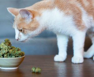 pets cbd cannabis 1024x6401 1024x640 300x247 - Your Guide To CBD Oil For Cats Seizures
