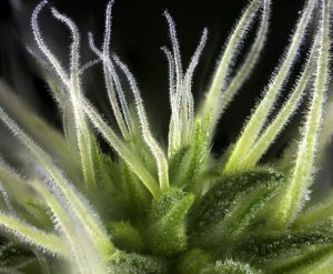 terpene 300x247 - Why People are Beginning to Use CBD Oil in Their Hair